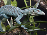 National Zoological Park: Green Tree Monitor