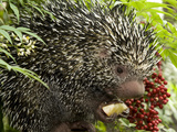 National Zoological Park: Prehensile-tailed Porcupine