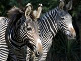 National Zoological Park: Grevy's Zebra
