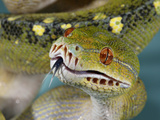 National Zoological Park: Green Tree Python