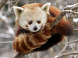 National Zoological Park: Red Panda