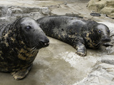 National Zoological Park: Gray Seal