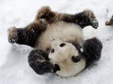 National Zoological Park: Giant Panda Papier Photo