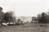 Sheep Grazing on the White House Lawn During World War 1 from 1916 to 1919
