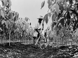 Worker Removing Weeds with a Hoe on a Rubber Plantation in Guatemala  1940