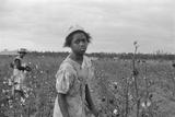 African American Girl Picking Cotton in Arkansas  Oct 1935