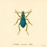 Carabus Cyaneus