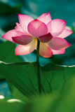 Lotus In Radiance