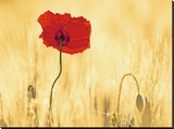Perfectly Red Poppy Flower