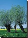 Willows In The Spring