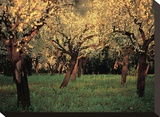 Apple Trees In The Sunset