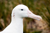 Albatross Portrait
