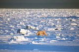 Polar Bear on Hudson Bay Ice