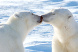 Kissing Polar Bears II