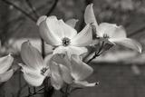Dogwood Blossoms I BW