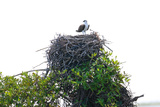 Osprey on Top of their Nest
