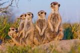 Meerkat Family II