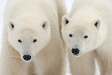 A Pair of Polar Bears