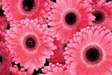 Pink Gerbera Daisies 3