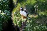 Puffin Couple Guarding their Nest