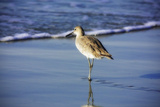 Sandpiper in the Surf I