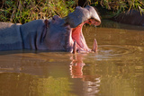 Bathing Hippo
