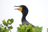 Double-Crested Cormorant  Yucatan  Mexico