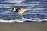 Sandpiper in the Surf III