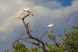 White Stork  Yucatan  Mexico