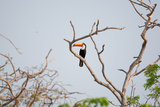 Tucan on a Branch
