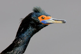 Portrait of a Cormorant