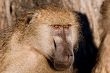 Baboon Eyes