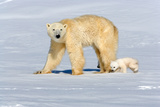 Polar Bear Mother Walking with Her Cubs