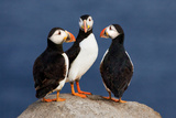 Three Puffins on Rock