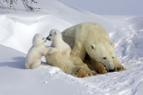 Kissing Polar Bear Cubs