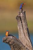 Azure Kingfisher Pair