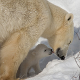 Polar Bear Cub Licking Mama