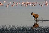 Hyena Chasing Flamingos