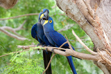 Hyacinth Macaw Love