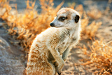 Meerkat Look