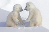 Dueling Polar Bear Cubs