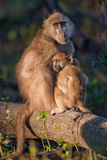 Baboon Mom and Child