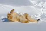 Mother and Cubs Rolling in the Snow