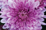 Purple Mum II