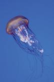 Jellyfish IV