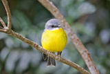 Eastern Yellow Robin  Australia