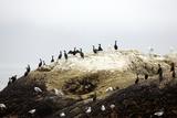 Flock of Comorants