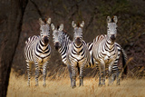 Zebras Looking
