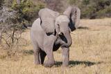 Baby Elephant III