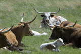 Longhorn Cattle in the Black Hills  South Dakota